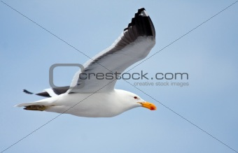 Cape gull flying against the blue sky