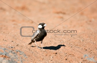 Grey-backed Sparrow-lark walking on the sand in the Kalahari desert