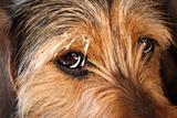 Dog Eyes Closeup