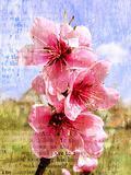 Spring flowering of a peach
