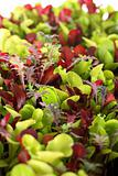 shot of Microgreens vertical