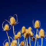 Golden thistles