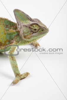 Chameleon isolated over white background