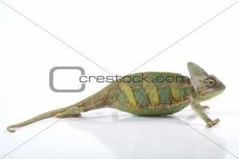 Chameleon  on white