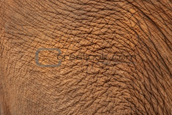 Close up of Elephant skin