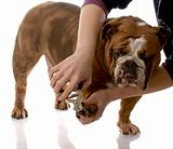 person cutting english bulldog toenails on white background