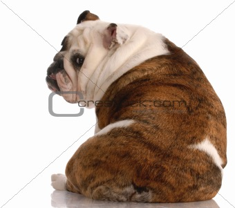brindle and white english bulldog with back to viewer