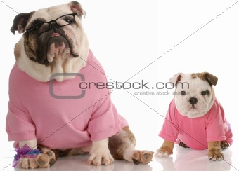 english bulldog mother and pup dressed in pink on white background