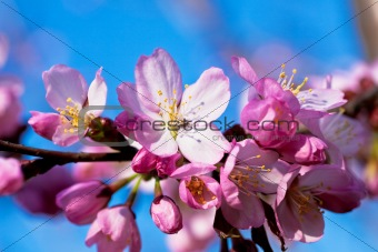Almond in bloom close-up