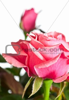 blossoming rose plant