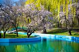 spring in a park / cherry blossom