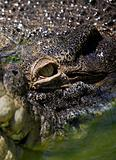 Eye crocodile