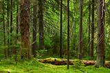 Fairy pinewood