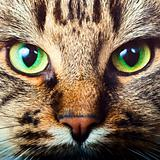 Tabby cat