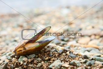 Greenshell mussel on a beach