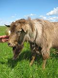 Hornless brown goat
