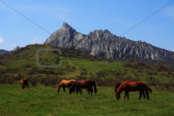 Grazing horses. Photo 9336