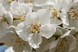 Delicate cherry blossom flower