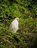 Cattle egret