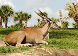 Antelope resting