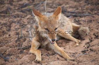A Jackal in the kalahari desert