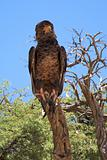 Martial Eagle seen in the Kalahari desert