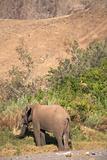 Elephants in the Skeleton Coast Desert