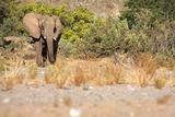 Elephants in the Skeleton Coast Desert
