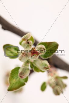 Apple buds on white