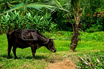 Grazing Cow in India