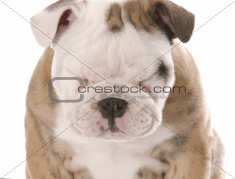 english bulldog puppy squinting isolated on white background