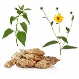 Jerusalem Artichoke