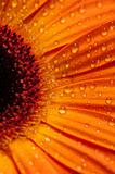 The Gerbera Series