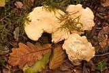 Hedgehog Fungus.