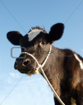 Calf With Rope Halter