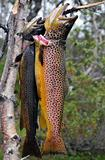 Norwegian mountain trout
