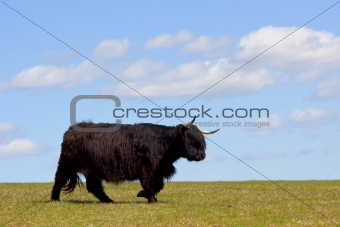 a black highland cow