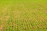 young wheat in springtime