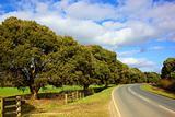 turners evergreen oak