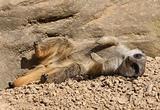 Young Meerkat