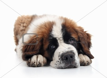 Adorable Saint Bernard Puppy Lying Down
