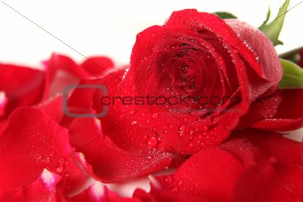 Red Rose Lying Among Petals With Dew Drops