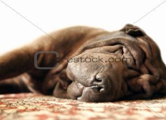 Sleeping Shar Pei