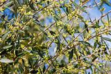 Olive tree in bloom