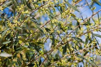 Olive tree in bloom