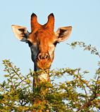 Giraffe eating thorn tree