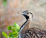 Close-up of a Black-bellied bustard in nature