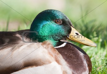 Beautiful duck