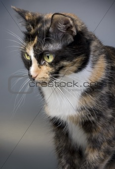 three-coloured cat