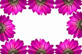 frame of pink flowers isolated on white background
